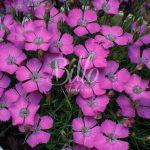 Oeillet négligé, Oeillet oeil-de-paon, dianthus pavonius, dianthus, glacialis, sono sinonimi che descrivono questo garofano