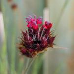 Il dianthus pinifolius è un amagnifico dianthus selvatico dell'europa meridionale dal fantastico colore rosa lilla molto profumato