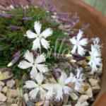 Fioritura tipica delle piante selvatiche con picco iniziale e un progressivo esaurimento, il dianthus Berlin Snow