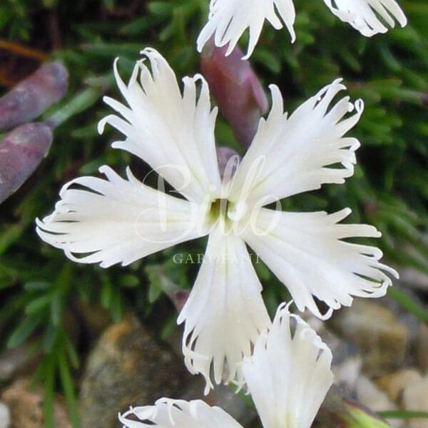 Caratteristico fiore frangiato del Dianthus Berlin snow