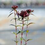 sweet william è un dianthus barbatus che per la variante nigrescens sooty è particolrmente ornamentale per il colore delle foglie e del fiore.