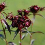 il dianthus barbatus nigrescens sooty si caratterizza da un colore del fiore insolito nella gamma cromatica dei dianthus, rosso marrone.