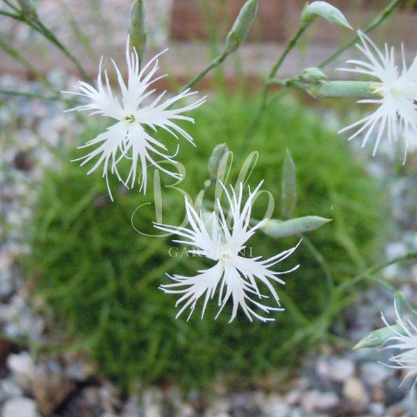 Dianthus noëanus Boiss è un garrofano selvatico della flora della Grecia dal profumo dolce e penetrante, mi verrebbe da dire il profumo più intenso tra i garofani selvatici..