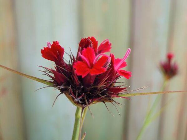 il dianthus cruentus è un garofano della flora spontanea dal particolare colore rosso cruento.