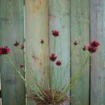 il dianthus cruentus è un garofanino spontaneo con una fioritura che svetta per circa 30 cm di altezza, ottimo per prati fioriti o roccioso.