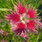 il dianthus superbus crimsonia ha un frangiatio fiore rosso semplice.