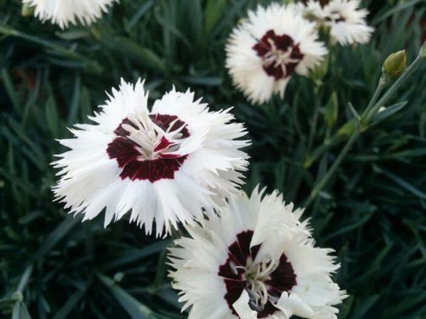 Ibrido del 2013 di origine inglese. Il dianthus alpin pinks Stargazer è un garofano molto versatile che suggerisco per l'uso da bordura o giardino roccioso. Pianta molto rustica Presente nella nostra proposta di garofani da giardino perenni permanenti sono facili da usare e generosi nelle fioriture. Pianta disponibile in vendita nel nostro shop online. Pianta compatta con fiore alto fino a 15 cm circa, piacevolmente profumato che ricorda i fiori della nonna. Di particolare pregio la cromatura del fiore. Pianta con ottimo accestimento, circa 15 cm di diametro. Garofano di particolare interesse.