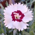 Il dianthus alpin pinks Starry Eyes è un garofano molto versatile che suggerisco per l'uso da bordura o giardino roccioso. Pianta molto rustica Presente nella nostra proposta di garofani da giardino perenni permanenti sono facili da usare e generosi nelle fioriture. Pianta disponibile in vendita nel nostro shop online. Ibrido del 2015 di origine inglese, Pianta compatta con fiore alto fino a 15 cm circa, piacevolmente profumato che ricorda i fiori della nonna. Di particolare pregio la cromatura del fiore. Pianta con ottimo accestimento, circa 15 cm di diametro. Garofano di particolare interesse.