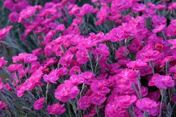 Il dianthus alpine pinks Warden Hybrid è un garofano molto versatile che suggerisco per l'uso da bordura o giardino roccioso. Pianta molto rustica Presente nella nostra proposta di garofani da giardino perenni permanenti sono facili da usare e generosi nelle fioriture. Pianta disponibile in vendita nel nostro shop online. Ibrido del 2015 di origine inglese, Pianta compatta con fiore alto fino a 15 cm circa, piacevolmente profumato che ricorda i fiori della nonna. Di particolare pregio la cromatura del fiore. Pianta con ottimo accestimento, circa 15 cm di diametro. Garofano di particolare interesse.