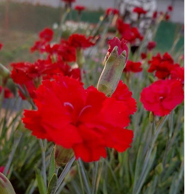 Il dianthus alpin pinks Fusilier è un garofano molto versatile che suggerisco per l'uso da bordura o giardino roccioso. Pianta molto rustica Presente nella nostra proposta di garofani da giardino perenni permanenti sono facili da usare e generosi nelle fioriture. Pianta disponibile in vendita nel nostro shop online. Ibrido del 2015 di origine inglese, Pianta compatta con fiore alto fino a 15 cm circa, piacevolmente profumato che ricorda i fiori della nonna. Di particolare pregio la cromatura del fiore. Pianta con ottimo accestimento, circa 15 cm di diametro. Garofano di particolare interesse.