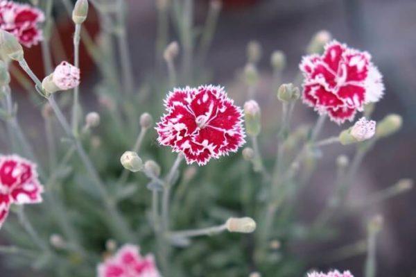 Il dianthus alpin pinks Mendlesham Minx è un garofano molto versatile che suggerisco per l'uso da bordura o giardino roccioso. Pianta molto rustica Presente nella nostra proposta di garofani da giardino perenni permanenti sono facili da usare e generosi nelle fioriture. Pianta disponibile in vendita nel nostro shop online. Ibrido del 1998 di origine inglese, Pianta compatta con fiore alto fino a 15 cm circa, piacevolmente profumato che ricorda i fiori della nonna. Di particolare pregio la cromatura del fiore. Pianta con ottimo accestimento, circa 15 cm di diametro. Garofano di particolare interesse.