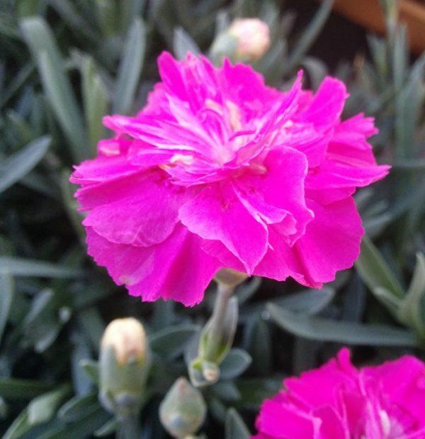 Il dianthus alpin pinks Warden Hybrid è un garofano molto versatile che suggerisco per l'uso da bordura o giardino roccioso. Pianta molto rustica Presente nella nostra proposta di garofani da giardino perenni permanenti sono facili da usare e generosi nelle fioriture. Pianta disponibile in vendita nel nostro shop online. Ibrido del 2015 di origine inglese, Pianta compatta con fiore alto fino a 15 cm circa, piacevolmente profumato che ricorda i fiori della nonna. Di particolare pregio la cromatura del fiore. Pianta con ottimo accestimento, circa 15 cm di diametro. Garofano di particolare interesse.