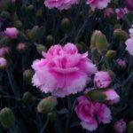 Il Dianthus Scent first Iced Gem è un vero e proprio garofanino da vaso e da patio. Suggerisco di averlo sempre a portata di naso perchè se non prende gelo riesce a sorprendere con le sue fioriture invernali. Il suo profumo e dolce e incantevole tanto da rientrare in questa speciale sezione. Viene considerato un garofano da collezione.