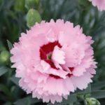 Il Dianthus Scent first Raspberry Sundae è un vero e proprio garofanino da vaso e da patio. Suggerisco di averlo sempre a portata di naso perchè se non prende gelo riesce a sorprendere con le sue fioriture invernali. Il suo profumo e dolce e incantevole tanto da rientrare in questa speciale sezione. Viene considerato un garofano da collezione.