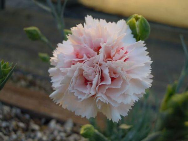 Il dianthus Garden Pinks the wessex pink è un garofano che suggerisco per l'uso da bordura o da orto per la raccolta degli steli a fiore recisi durante tutta la bella stagione e per arrichire di fiori l'orto. Facile da usare anche in container da 2 litri. Presente nella nostra proposta di garofani da giardino perenni permanenti sono facili da usare e generosi nelle fioriture.Pianta disponibile in vendita nel nostro shop online. Ibridato di origine inglese, Fiore alto 30 cm piacevolmente profumato che ricorda i fiori della nonna. Di particolare pregio la cromatura del fiore. Pianta con ottimo accestimento, circa 30 cm di diametro. Garofano da collezione.