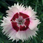 Il dianthus Garden Pinks Cherry Daiquiri è un garofano che suggerisco per l'uso da bordura o da orto per la raccolta degli steli a fiore recisi durante tutta la bella stagione e per arrichire di fiori l'orto. Facile da usare anche in container da 2 litri. Presente nella nostra proposta di garofani da giardino perenni permanenti sono facili da usare e generosi nelle fioriture.Pianta disponibile in vendita nel nostro shop online. Ibridato di origine inglese, Fiore alto 30 cm piacevolmente profumato che ricorda i fiori della nonna. Di particolare pregio la cromatura del fiore. Pianta con ottimo accestimento, circa 30 cm di diametro. Garofano da collezione.