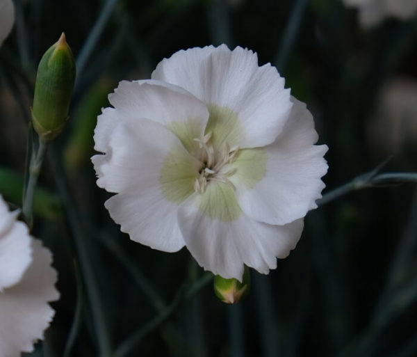 Il dianthus Garden Pinks Mojito è un garofano che suggerisco per l'uso da bordura o da orto per la raccolta degli steli a fiore recisi durante tutta la bella stagione e per arrichire di fiori l'orto. Facile da usare anche in container da 2 litri. Presente nella nostra proposta di garofani da giardino perenni permanenti sono facili da usare e generosi nelle fioriture.Pianta disponibile in vendita nel nostro shop online. Ibridato di origine inglese, Fiore alto 30 cm piacevolmente profumato che ricorda i fiori della nonna. Di particolare pregio la cromatura del fiore. Pianta con ottimo accestimento, circa 30 cm di diametro. Garofano da collezione.