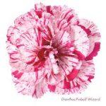 Il dianthus Garden Pinks 'Pinball Wizard' è un garofano che suggerisco per l'uso da bordura o da orto per la raccolta degli steli a fiore recisi durante tutta la bella stagione e per arrichire di fiori l'orto. Presente nella nostra proposta di garofani da giardino perenni permanenti sono facili da usare e generosi nelle fioriture.Pianta disponibile in vendita nel nostro shop online. Ibridato di origine inglese, Fiore alto 30 cm piacevolmente profumato che ricorda i fiori della nonna. Di particolare pregio la cromatura del fiore. Pianta con ottimo accestimento, circa 30 cm di diametro. Garofano per collezionisti.