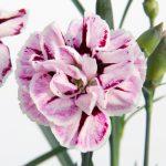 Il dianthus capitan diaz è un garofanino che abbiamo in coltivazione di recentissima ibridazione, il brevetto è in possesso della ditta selecta. Si caratterizza per un accestimento considerato vigoroso, circa 20 cm di diametro e 25 cm di altezza con i suoi fiori. Fiori con cromature di particolare interesse. Piacevolmente profumato. Pianta perenne permanente.