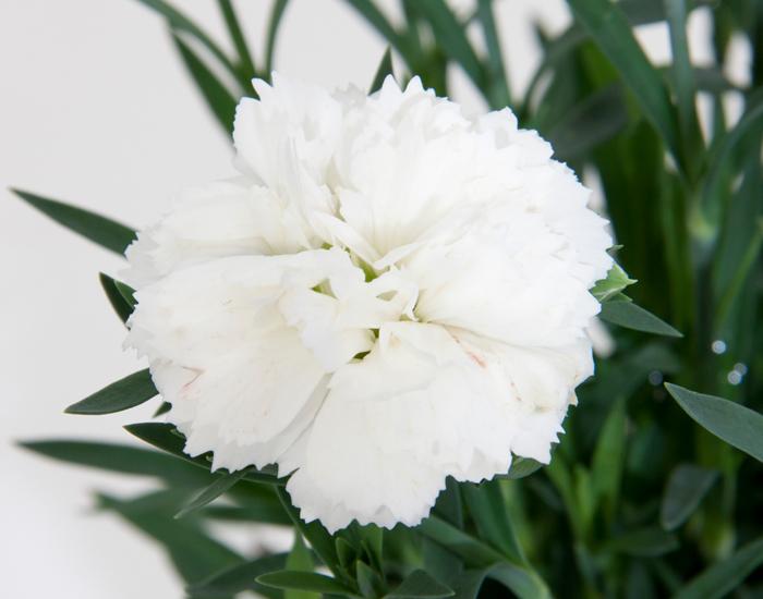 Il Dianthus Nieve è un garofanino bianco facilissimo da usare perchè si presta a diversi utilizzi. Vaso o bordura