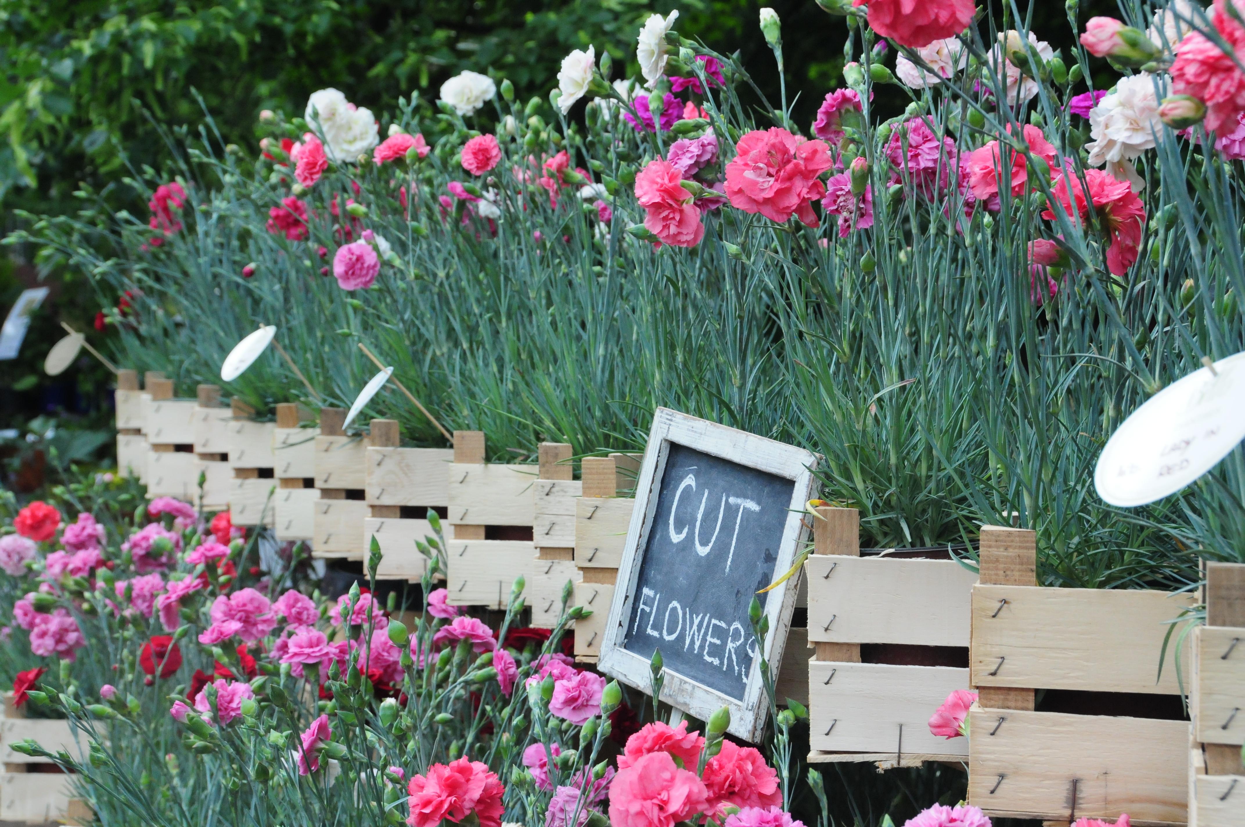 Fiori Da Giardino Roccioso garofani da taglio, una nuova formula per divertirsi in