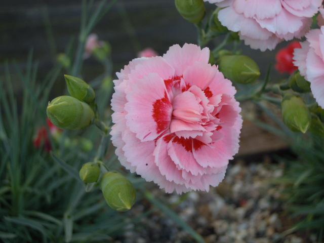 Ibrido del 1954. Garofano da collezione.Il dianthus Garden Pinks Doris è un garofano che suggerisco per l'uso da bordura, Cottage Garden o da orto per la raccolta degli steli a fiore recisi durante tutta la bella stagione e per arrichire di fiori l'orto. Facile da usare anche in container da 2 litri. Presente nella nostra proposta di garofani da giardino perenni permanenti sono facili da usare e generosi nelle fioriture. Pianta disponibile in vendita nel nostro shop online. Ibridato di origine inglese, Fiore alto 30 cm piacevolmente profumato che ricorda i fiori della nonna. Di particolare pregio la cromatura del fiore. Pianta con ottimo accestimento, circa 30 cm di diametro.