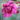 Dianthus_Garden_pinks_Laced_Monarch