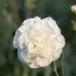 Fiore perfetto per il dianthus bridal star. Bianco candido molto profumato