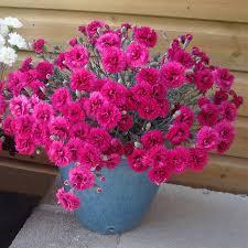Il dianthus alpin pinks Starlette è un garofano molto versatile che suggerisco per l'uso da bordura o giardino roccioso. Pianta molto rustica Presente nella nostra proposta di garofani da giardino perenni permanenti sono facili da usare e generosi nelle fioriture. Pianta disponibile in vendita nel nostro shop online. Ibrido del 2004 di origine inglese, Pianta compatta con fiore alto fino a 15 cm circa, piacevolmente profumato che ricorda i fiori della nonna. Di particolare pregio la cromatura del fiore. Pianta con ottimo accestimento, circa 15 cm di diametro. Garofano di particolare interesse.