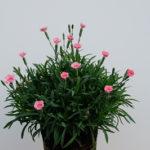 Il dianthus Peach party, vengono considerati rifiorenti proprio per la capacità di riproporre continue fioriture. I garofani di nuova generazione sono il must per chi necessita di una pianta di facile utilizzo ma con la massima resa a fiore!