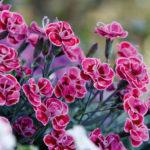 Il Dianthus purple wedding è un ibrido di garofano recentissimo. Core molto interessante su fiore molto piccolo