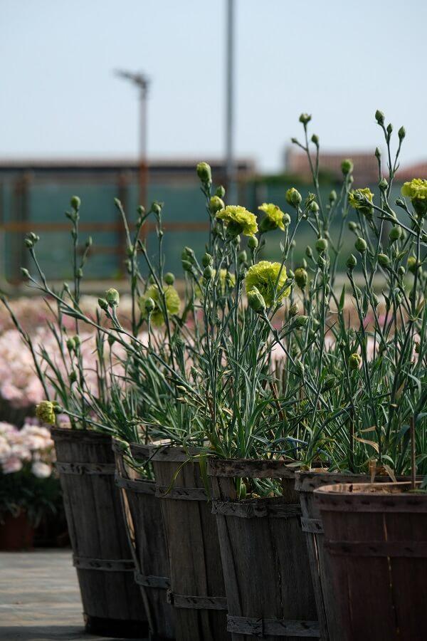 Dianthus carnation in produzione