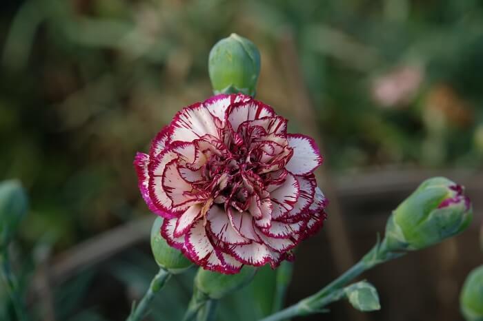 una nuova formula di garofani da taglio ha dato impulso per un utilizzo ed una valorizzazione del fiore in allestimenti sempre più raffinati