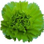 Un bellissimogarofano verde ibrido di dianthus carnetion di selezione italiana