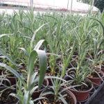 le piante di garofano pendulo tirolese in vendita online sul nostro web shop sono in questo formato.