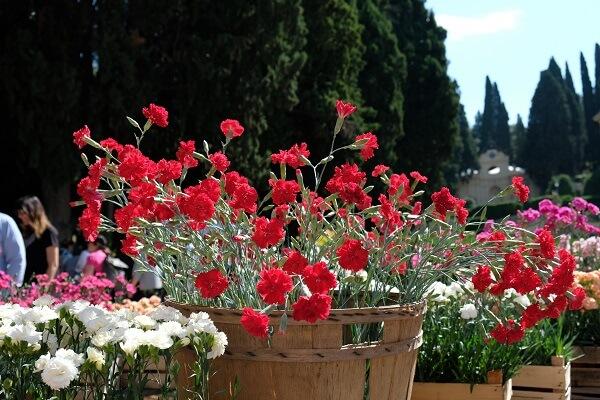 Il dianthus Lady in red è l'unico garofano rosso dal particolare profumo speziato che io conosco