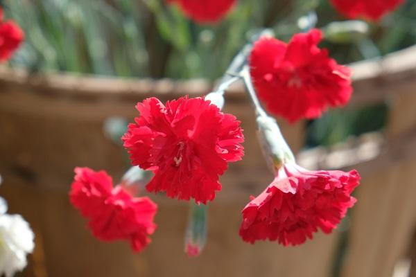 Questo garofano rosso ha un particolare profumo speziato che lo rende unico. Spesso nel confronto con i clienti si ricorda il garofano rosso antico della nonna da orto e giardino.