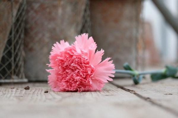 Garofano Standard Carnation Dgd Chevin rosa è un classico nelken karafil karafiàt nelliku nellik anjer goździk cravo garoafa гвоздика каранфил nagelj Nelke nejlika szegfű гвоздика dal colore rosa intenso, petalo frangiato.
