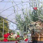 Il garofano pendulo tirolese è una selezione che ci arriva direttamente dalle zone del Tirolo e che possiamo proporre nel nostro web shop per tutti i clienti che vogliono comprare piante online.