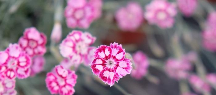 piantare garofani in autunno e in inverno migliora la radicazione e permette una fioritura più abbondante nella primavera sucessiva