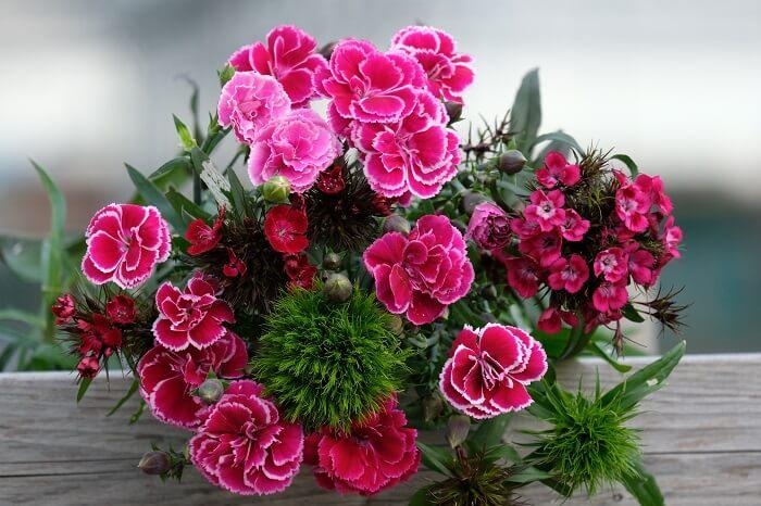 un gran profumo di garofani è l'assortimento di piante in vendita online su floricoltura Billo