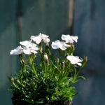Il fiore bianco avorio del dianthus alpinus albus che risulta una selezione della specie.