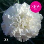 Il dianthus Garden Pinks ' Bridal Star' è un garofano che suggerisco per l'uso da bordura o da orto per la raccolta degli steli a fiore recisi durante tutta la bella stagione e per arrichire di fiori l'orto. Presente nella nostra proposta di garofani da giardino perenni permanenti sono facili da usare e generosi nelle fioriture.Pianta disponibile in vendita nel nostro shop online. Ibridato nel 2018 di origine inglese, Fiore alto 30 cm piacevolmente profumato che ricorda i fiori della nonna. Di particolare pregio la cromatura del fiore. Pianta con ottimo accestimento, circa 30 cm di diametro. Garofano per collezionisti.