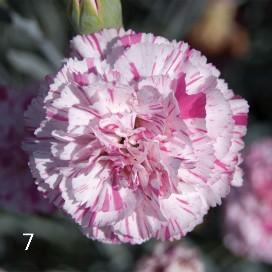Il dianthus Garden Pinks 'Pinball Wizard' è un garofano che suggerisco per l'uso da bordura o da orto per la raccolta degli steli a fiore recisi durante tutta la bella stagione e per arrichire di fiori l'orto. Presente nella nostra proposta di garofani da giardino perenni permanenti sono facili da usare e generosi nelle fioriture.Pianta disponibile in vendita nel nostro shop online. Ibridato nel 2018 di origine inglese, Fiore alto 30 cm piacevolmente profumato che ricorda i fiori della nonna. Di particolare pregio la cromatura del fiore. Pianta con ottimo accestimento, circa 30 cm di diametro. Garofano per collezionisti.