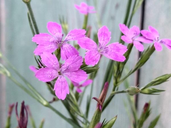 il dianthus armeria ha un colore rosa intenso con lentiggini bianche.