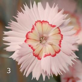 Il dianthus garden pinks tequila sunrise appartiene ad un gruppo di ibridi di recente proposta. Il gruppo di 5 ibridi è conoscita come la serie cocktail