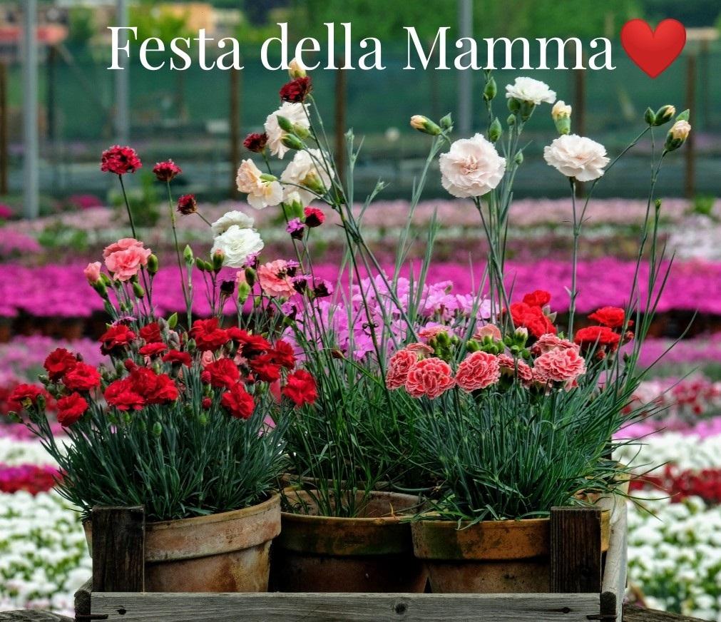 Rose Da Taglio Rifiorenti festa della mamma - floricoltura billo