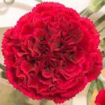 Garofano Standard Carnation Nobbio Samurai è un nelken rosso con gola nera da collezione, selezione del dottor Nobbio degli anni cinquanta