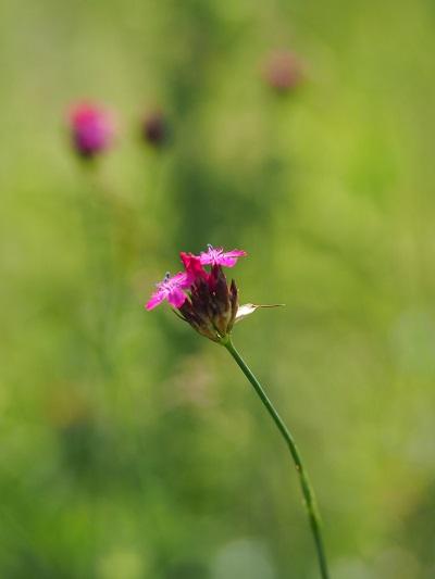 nell'immagine vediamo una fioritura di dianthus carthusianorum. Risulta una specie selvatica molto presente anche in italia oltre che in europa. Il suo fiore rosa fiorisce a capolino durante tutta la bella stagione. Viene considerata una pianta prativa