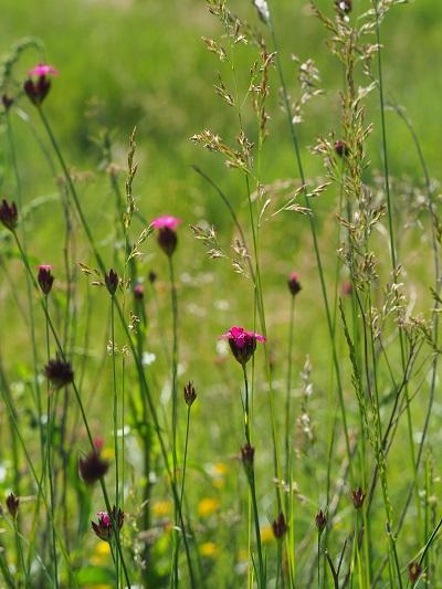 Dianthus carthusianorum pianta largamente utilizzata dai monaci certosini per realizzare infusi per curare la peste